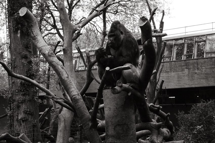 gorilla #artis
