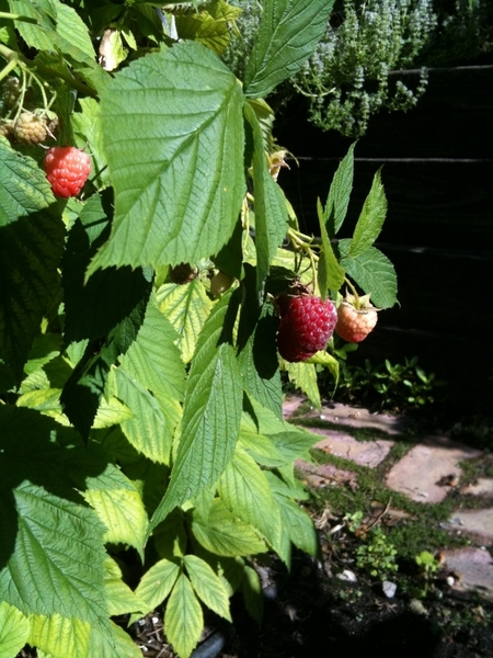 Our first raspberries are ripe in my garden!