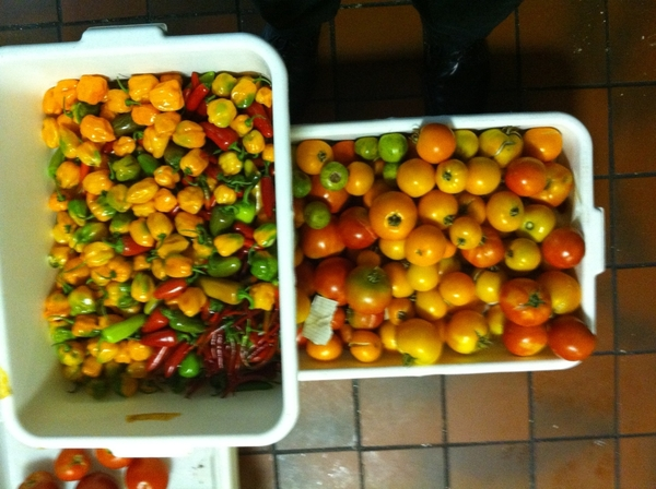 90# tomatoes, 10# chiles harvested off the roof of Frontera today.