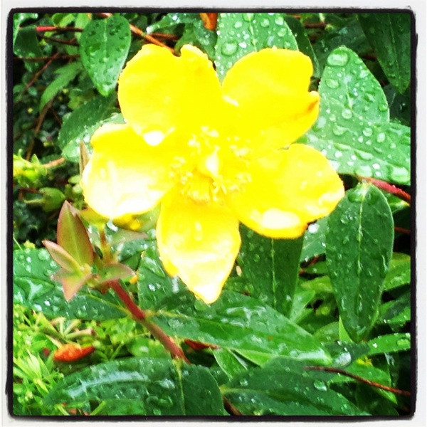 Flower in the rain