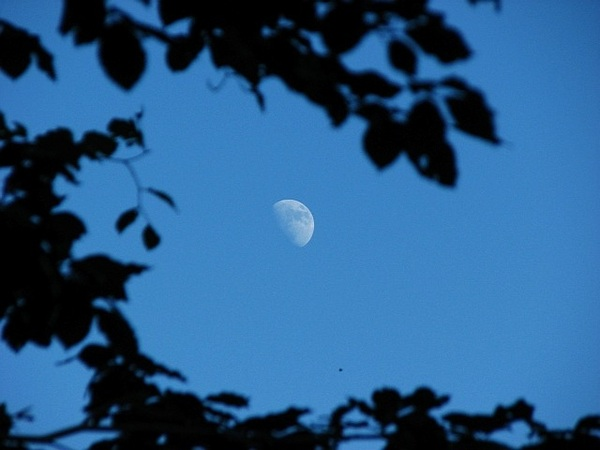 Moon and copper beech 28/6/12 @badas_tweets @newburyastro  #moonwatch #wonders