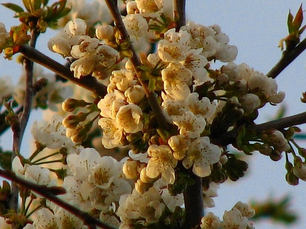Cherry blossom at sunset 30/3/12 #spring