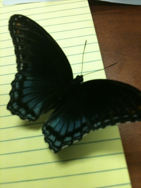 BREAKING: There is a butterfly in my office.