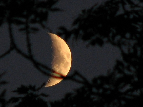 Golden luna through ash trees 25/6/12 @newburyastro @badas_tweets  #moonwatch #wonders